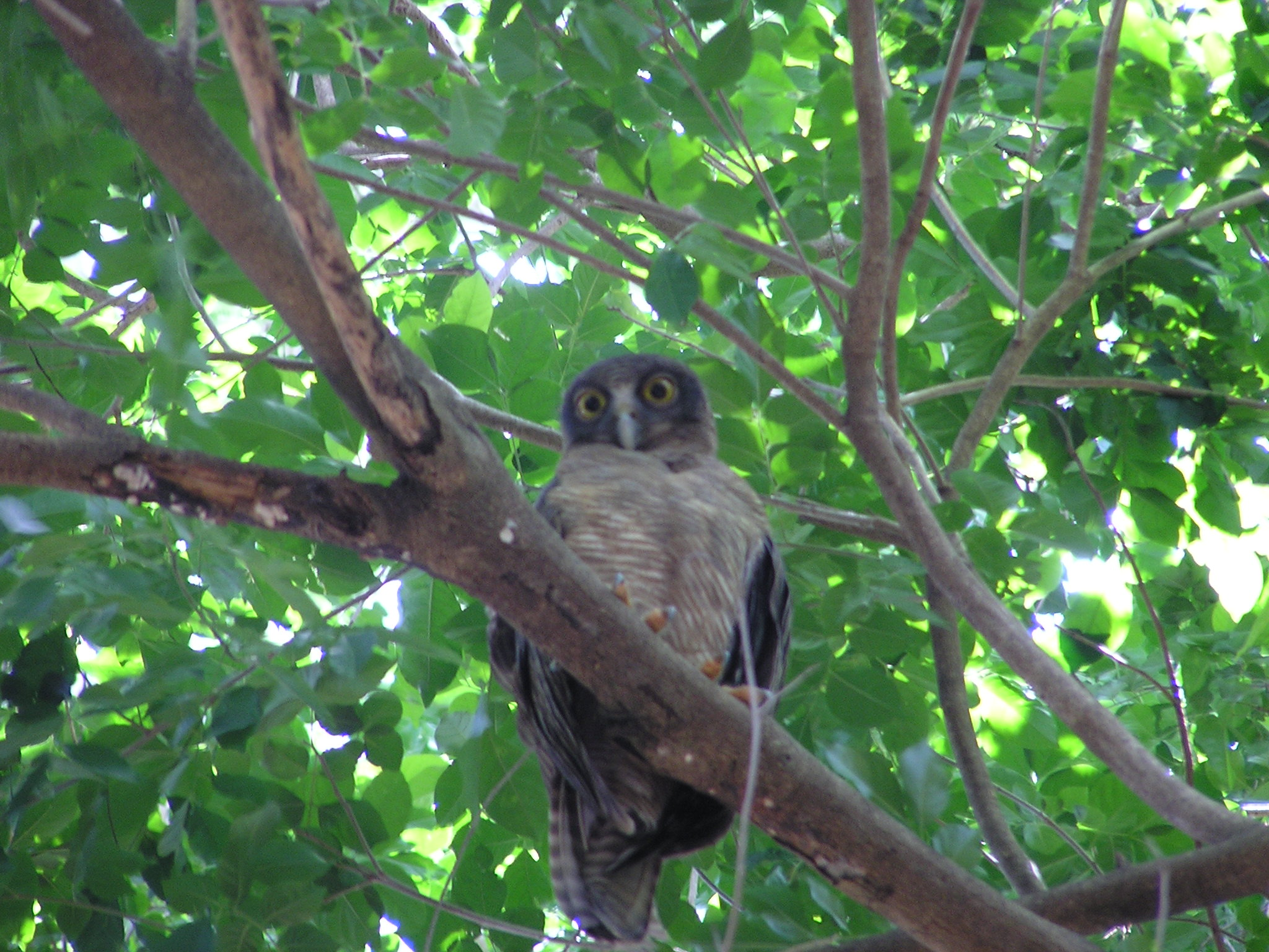 Rufous owl - photo#50